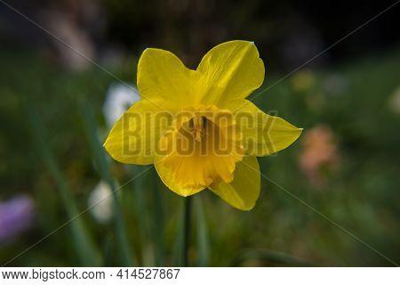 2021_03_13 Narcissus Pseudonarcissus