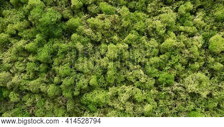 Natural Moss In Nature. Green Moss Background Texture