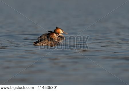 Pair Of Great Crested Grebe Swimming Side By Side On Water Podiceps Cristatus Fishing On Blue Lake