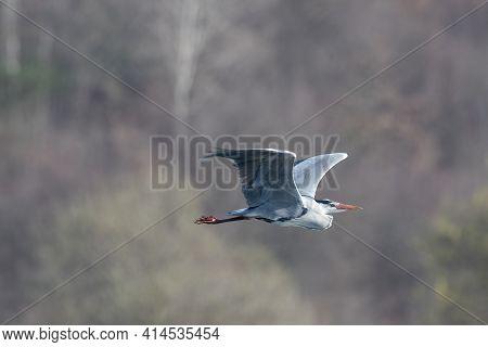 Great Grey Heron (ardea Cinerea) Flying Over. Blue Heron In Flight