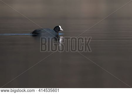 Eurasian coot (Fulica atra) swimming in the lake on a cold spring morning waterbird