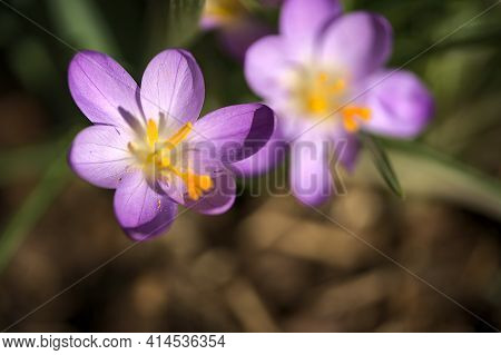Beautiful Purple, Violet Spring Crocus Flowers With Yellow Stigma On Blurry Grass Background, Marlay
