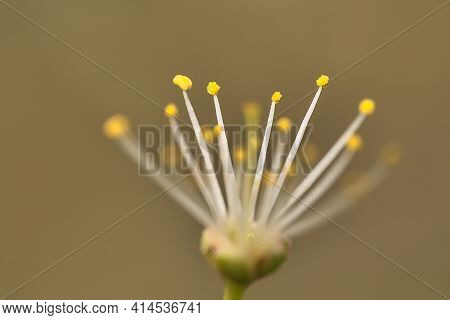 Beautiful Macro View Of Tiny White Filaments And Yellow Anthers Of Spring White Blossom Without Coro