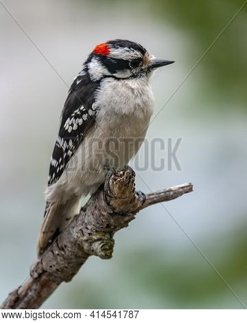 Male Downy Woodpecker Perched On A Branch