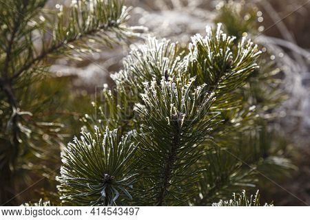 Pine Branches Covered With Hoarfrost In Sunlight Against Blurred Natural Background, Close-up. Winte