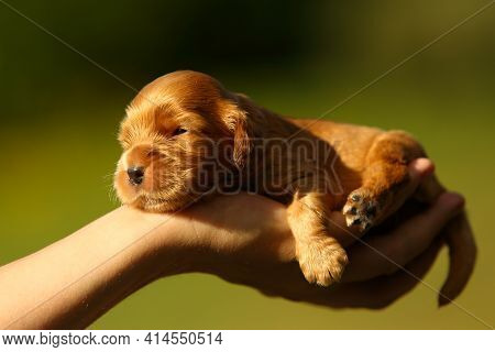 Beautiful And Cute Golden English Cocre Spaniel Puppy On The Hand. Morning Sun. Green Background.