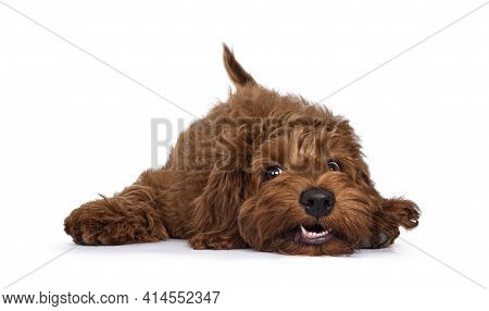 Red Cobberdog Aka Labradoodle Pup, Laying Head Down With A Silly Face. Looking Towards Camera. Isola
