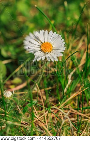 Daisies In Spring In The Sunshine. Single Bloom Of Meadow Flower With Green Smooth And Serrated Gras