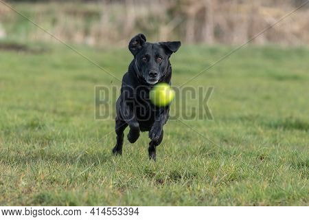 Action Shot Of A Pedigree Black Labrador Running After A Tennis Ball In A Field