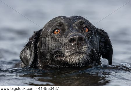 Head Shot Of A Pedigree Black Labrador Swimming In The Water