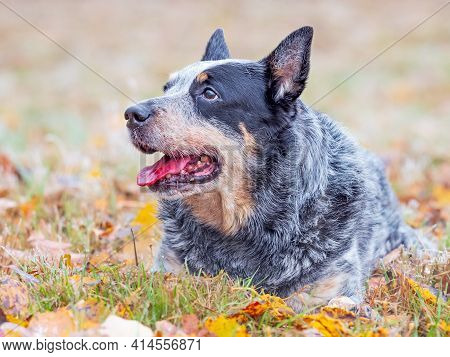 Gray Dog Lying In The Grass And Fallen Colored Leaves. A Smart Burly Dog Working A Cattle Breed.