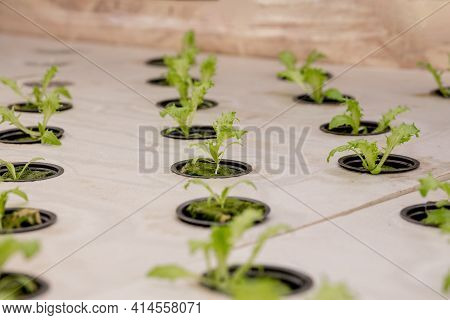 Germination Salad On Rockwool For Hydroponic. Preparing For The Cultivation Of Plants In The Garden.