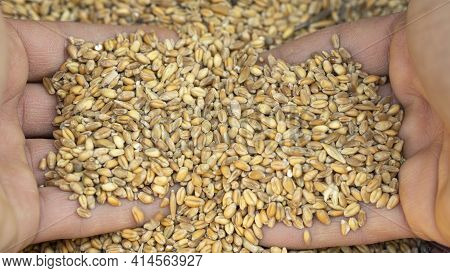 Man Hands While Touching Harvested Wheat Seeds Grainsraw Food Ingredients, Agricultural Product