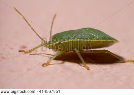 Stink Bug Nymph Of The Genus Loxa