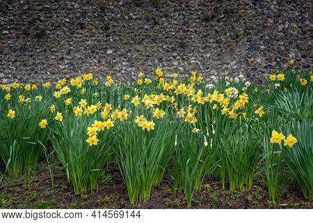 Canterbury, Kent, England - Mar 27 2021: Yellow Daffodil Flowers In Full Bloom On 27 Mar 2021 On Bri