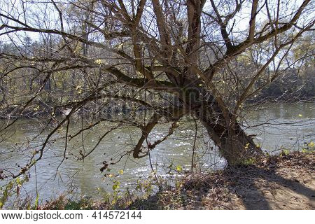 A Knarled Old Riverside Tree Crookedly Leans Over The River Stubbornly Gripping The Riverbank With I