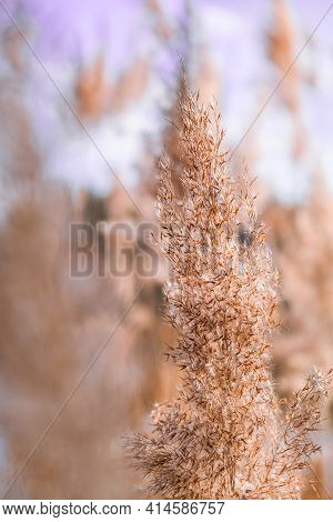 Pampas Grass. Dry Beige Reed. Abstract Natural Background. Pastel Neutral Colors. Earth Tones. Beaut