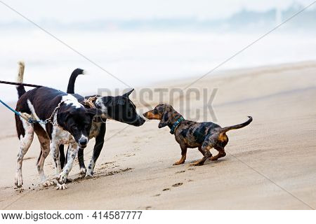 Photo Of Dachshund Puppy Knowns As Badger Dog Walking By Sand Beach. Funny Dog Run Along Sea Surf. A