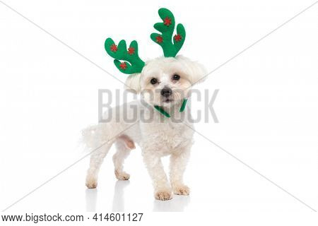bichon dog is wearing green reindeer horns and standing against white background