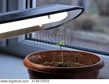 Hemp Seedling Under The Light Of A Room Lamp Grown Indoors By A Window, Seedlings In The Form Of One