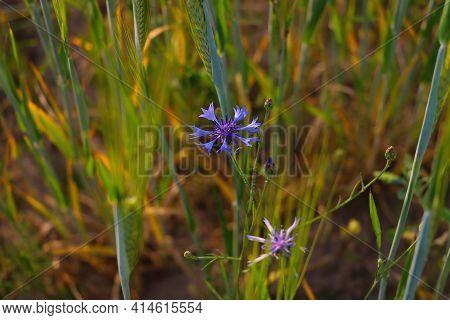Beautiful Blue Blooming Cornflower Flower In Spring In The Meadow