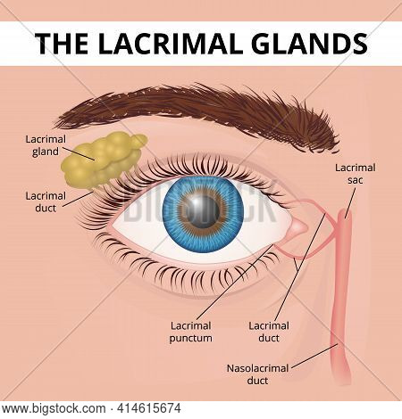 Structure Of The Human Eye And Lacrimal Glands