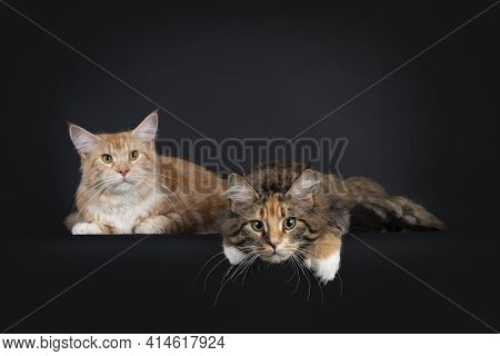 Duo Of Red Silver And Tabby Tortie Maine Coon Cat Youngsters, Laying Side By Side. Looking Towards C