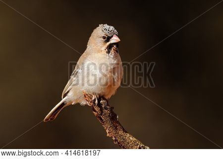 A small scaly-feathered weaver (Sporopipes squamifrons) perched on a branch, South Africa