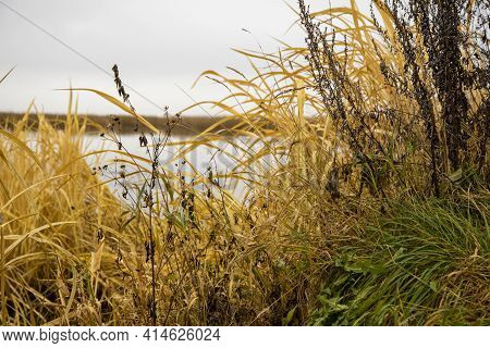 Dry Grass Grows On The Shore Of The Lake. Beautiful Natural Background Image. Yellow And Green Autum