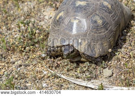 Wild Animals. A Large Land Tortoise Crawls On Dry Grass On A Sunny, Spring Day In The Mountains