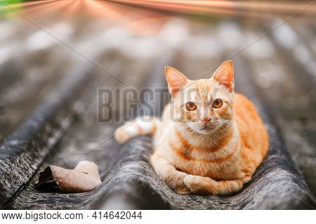Ginger Cat With Amber Eyes Lays On The Roof And Looks At Camera. Stray Street Happy Independent Cat
