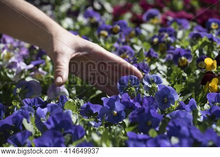 Flowers In Horticulture In The Spring Time