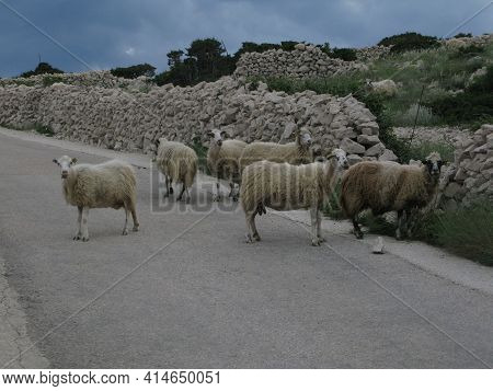 Sheep Farming And Breeding In Istria, Croatia, Farm Animals In Agriculture