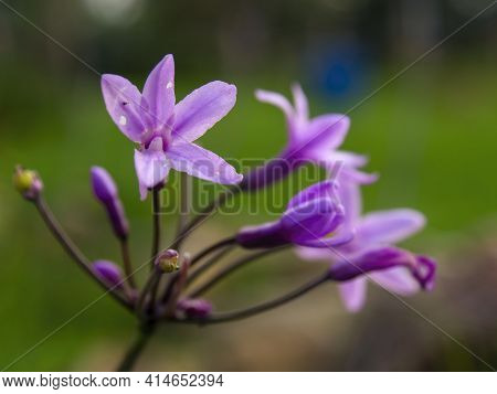 Macro Photography Of Purple Society Garlic Flowers, Captured In A Farm Near The Colonial Town Of Vil