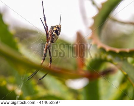 Macro Photography Of A Silver Argiope Spider Hanging From Its Web In A Candelabra Aloe Plant, Captur