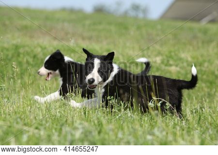 Adorable Puppies Of Border Collie