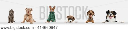 Cute Doggies Or Pets Looking Happy Isolated On White Background. Studio Photoshots. Creative Collage