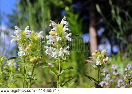 Sideritis Hyssopifolia, Also Known As Mountain Tea, Is A Genus Of Flowering Plants Well Known For Th