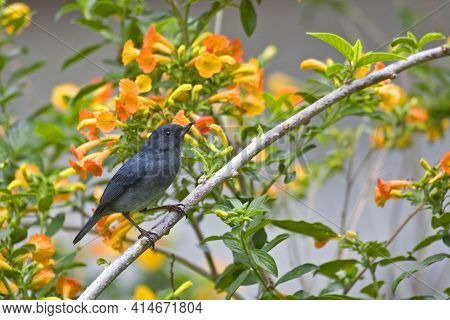 A Slaty Flowerpiercer, Diglossa Plumbea, Perched Among Colorful Blossoms