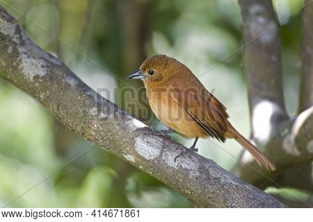 A Female White-lined Tanager, Tachyphonus Rufus, Perched In A Tree