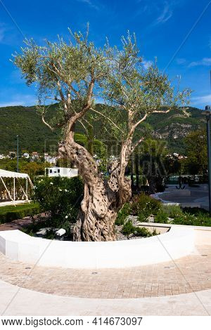 Old Olive Tree, Montenegro, City Of Tivat.