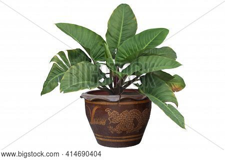 Giant Philodendron Or Giant Elephant Ear In Pot Isolated On White Background Included Clipping Path.