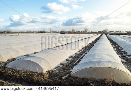 Planting Potatoes Under Spunbond And Membrane In A Farm Field. Create A Greenhouse Effect For Care A