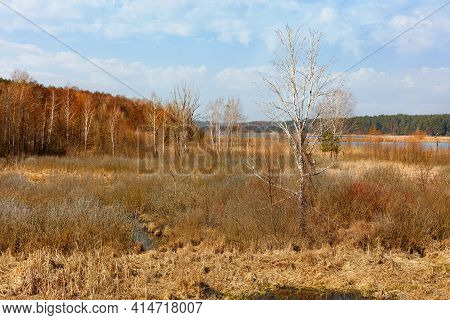 A Young Birch Tree Grows In A Swampy Meadow Among Yellow Reeds And Grass After Hibernation.