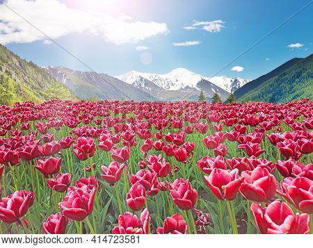 Valley Of Red Tulips Blooming In The Mountains. Landscape With Mountains And Tulips. Nature In Sprin