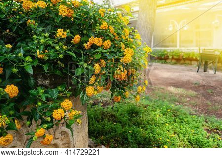 Lantana Trailing Or Montevidensis, Yellow Flowers In The City Garden. Flowering Plants Adorn The Str