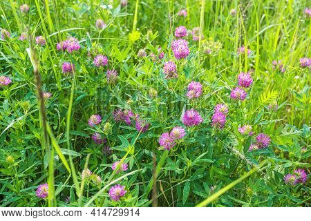 Close-up Of Violet Clover Flowers Field. Grass Meadow With Blooming Summer Plants. Trifolium Pratens