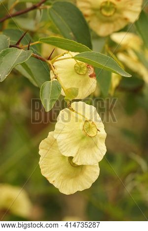 Closeup On The Flowers Of  The Jerusalem Garland Or Crown Of Thorns, Paliurus Spina-christi In Gard,