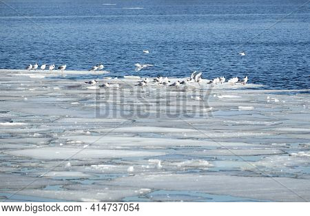 Lot Of  Wild Seagulls Sit On An Ice Floes Floating In Cold Blue Open Water In Bright Sunny Spring Da
