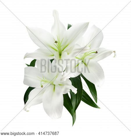 Beautiful White Lily Isolated On White Background.